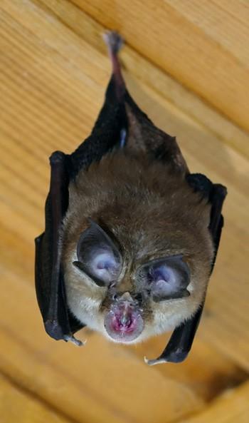 Bat Surveys - hanging bat - Bat Licence